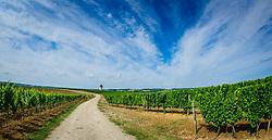 Vineyard in the Cotes de Duras, Lot et Garonne, Aquitaine, France<br /> <br /> (c) Andrew Wilson | Edinburgh Elite media