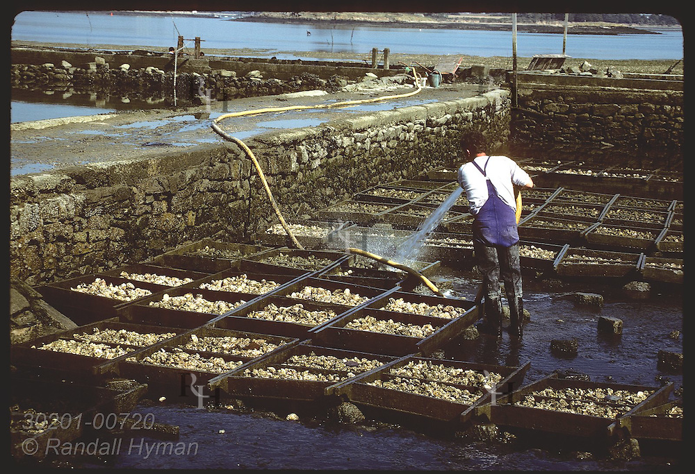 Oysterman hosing mud off Japanese oysters in cleaning basin in the Gulf of Morbihan. France