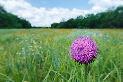 Purple thistle and wildflower field, Big Spring historical and natural area, Great Trinity Forest, Dallas, Texas, USA