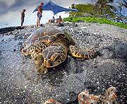 Scuba with Green Turtle diving in Hawaii, Big Island