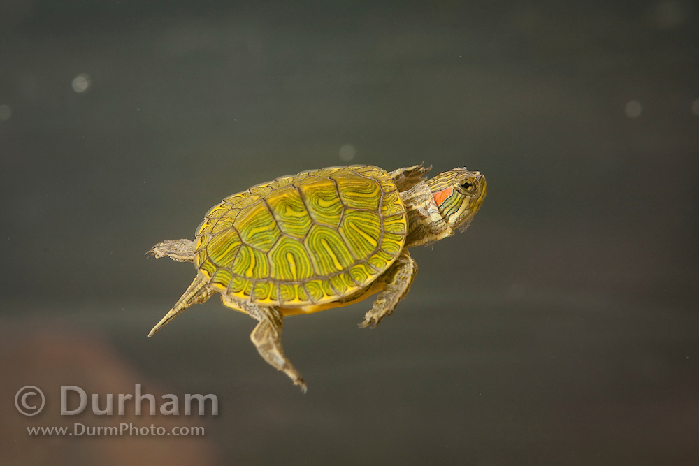 A young red-eared slider (Trachemys scripta elegans) swimming in water. Central Texas. Temporarily captive.