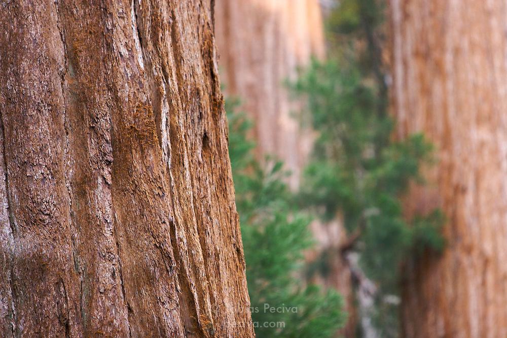 Giant sequoia trees in Sequoia National Park, California.