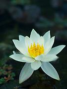 Nymphaea pygmae 'Helvola' - waterlily