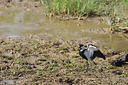 Spur-winged Lapwing (Vanellus spinosus) standing by the water, Photographed in Israel in August