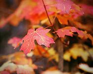 Fall Leaves Along the West Fork Trail - Oak Creek Canyon, AZ