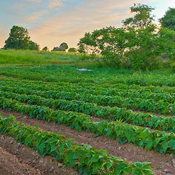 Bean field at Heron Pond Farm in South Hampton, New Hampshire. HDR