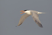 Stock Photo of Royal Tern captured in Florida.  The royal tern is found only along ocean beaches.