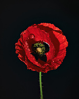 Red Poppy Flower. Backyard spring nature in New Jersey. Focus stacked composite of 15 mages taken with a Nikon Df camera and 105 mm f/2.8 VR macro lens and SB-910 flash (ISO, 105 mm, f/4, 1/60 sec). Images processed with Capture One and Helicon Focus (pyramid)