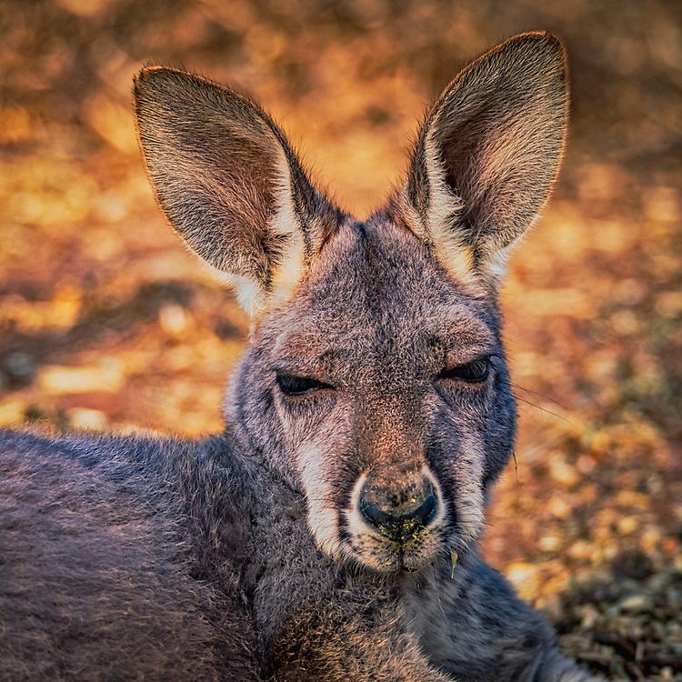 A young red kangaroo (Macropus rufus) captured resting in the late afternoon sun.<br /> <br /> Code: SANCW0007<br /> <br /> Available as an open edition print and as a stock image.<br /> <br /> Add to Cart to view options and pricing