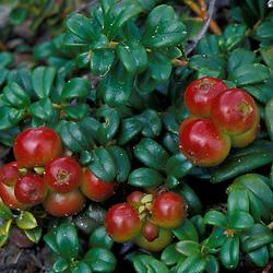 White Mountain N.F., NH.  Mountain cranberry, Vaccinium vitis-idaea, with fruit. On Mt. Washington.