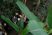 St Petersburg, Russia, 10/02/2004..Founded in 1714 by Peter the Great, the Komarov Institute is one of the largest botanical collections in the world. Guide and tour group in the greenhouses look at a banana tree which survived the seige of Leningrad in World War Two.