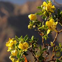 USA, California, San Diego County. Creosote Bush in bloom at Anza-Borrego.