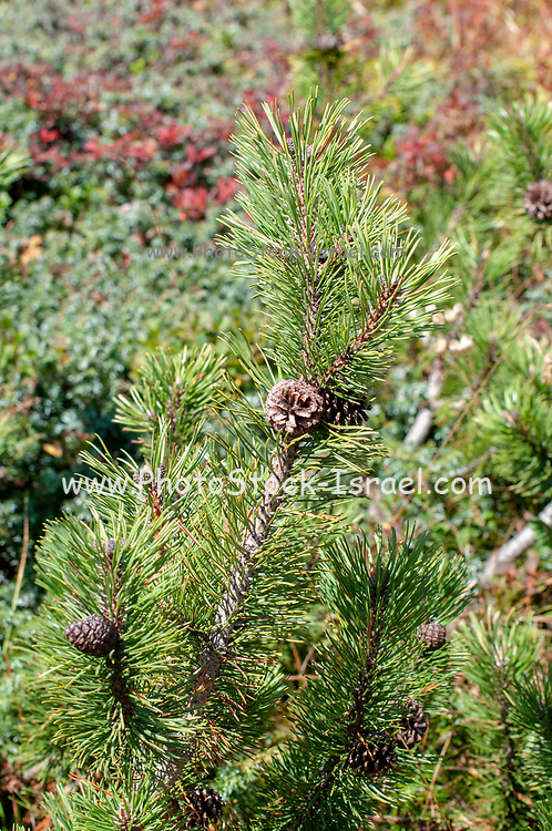 Swiss mountain pine (Pinus mugo) known as creeping pine, dwarf mountainpine, mugo pine, mountain pine or scrub mountain pine is a species of conifer, native to high elevation habitats from southwestern to Central Europe. Photographed on Elfer Mountain, Stubai Valley, Tyrol, Austria in September