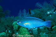 princess parrotfish, <br /> Scarus taeniopterus, terminal male phase or supermale<br /> Cayman Islands ( Caribbean Sea )