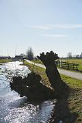 Knotwilgen langs een sloot in de polder van de Krimpenerwaard. |  Pollard willows along a ditch in the polder of the Krimpenerwaard.