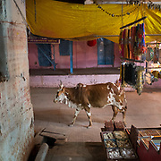 A cow in the holy city of Maheshwar, on the banks of the Narmada river.