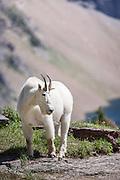 Mountain Goat at Logan Pass Hidden Lake Trail Glacier National Park