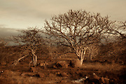 Palo Santo tree (Bursera graveolens) on North Seymour Island, Galapagos Archipelago - Ecuador. The palo santo is related to frankincense, and the sap contains an aromatic resin. Palo Santo loose their leaves during the dry season to help stop water loss.
