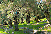 Sunlight through old olives trees, Olea europaea in olive grove for traditional olive oil production in sub-tropical climate, Corfu, Greece