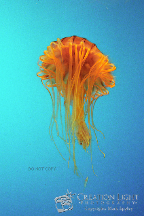Orange Jelly Fish at the Aquarium of the Pacific in Long Beach, California