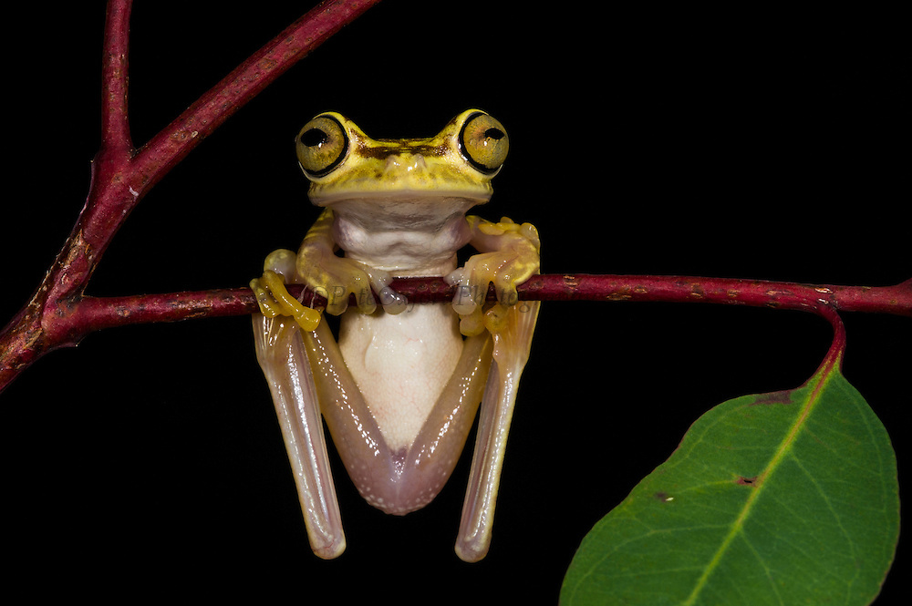 Imbabura tree frog (Hypsiboas picturatus)<br /> CAPTIVE<br /> Chocó Region of northwest Ecuador<br /> ECUADOR. South America<br /> Declining species<br /> RANGE: Colombia, NW Ecuador,<br /> Lowland and submontane humid rainforest. 50-500m.