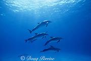 wild bottlenose dolphins, Tursiops truncatus, Cozumel Island, Mexico ( Caribbean Sea )