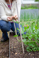 Supporting peas with canes and garden twine - Pisum sativum