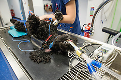 Anaesthetised dog prior to surgery at Rushcliffe Veterinary Centre, West Bridgford, Nottingham, UK.<br /> Photo: Ed Maynard<br /> 07976 239803<br /> www.edmaynard.com