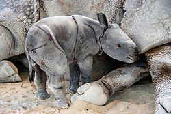 """This adorable calf has made history after becoming the first ever Indian rhino to be born using artificial insemination. Akuti, a seven-year-old Greater One Horned Indian Rhinoceros, gave birth at approximately 12.30am on Tuesday April 23. According to delighted zoo staff, it is the first ever birth of the species by induced ovulation and artificial insemination. Amazingly, the youngster appears to be in excellent health and these adorable images capture the scientific marvel taking its first ever steps as it wobbles around its enclosure. According to zoo officials, natural breeding wasn't working, so an expert team of animal reproductive specialists from the South East Zoo Alliance for Reproduction and Conservation, which focuses on endangered species, were brought in to help the birth along. The crew artificially collected semen from the father, Suru, on Jan. 8, 2018. The following day they artificially inseminated the mother. Once the team of experts had confirmed that Akuti was pregnant, she was trained to receive regular ultrasound examinations. This helped the staff monitor the development of the baby. Because the exact date of conception was known, they were able to accurately estimate the birth date. Zoo Spokesperson Ron Magill said: """"With the artificial insemination, we had to first collect the semen from the male. Once that was done, we had to immobilize the female so that there would be no danger to the veterinarians who then carefully used an instrument that is inserted vaginally and placed up against the cervix where the semen is then deposited,"""" he said. """"The challenge is that it has to be timed precisely to her ovulation which was also induced. As it turned out, our timing was perfect."""". 25 Apr 2019 Pictured: Historic Indian rhino born using artificial insemination at Zoo Miami. Photo credit: Ron Magill/ Zoo Miami / MEGA TheMegaAgency.com +1 888 505 6342"""