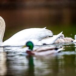 Swans in Callender Park, Falkirk