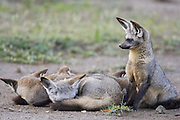 Bat-eared fox<br /> Otocyon megalotis<br /> Pups and parents sleeping together in pile<br /> Ngorongoro Conservation Area, Tanzania