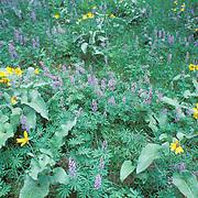 Wildflowers, blooming flowers of Arrowleaf Balsamroot. Foothills of Bridger mountains. Summer. Montana.