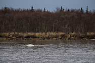 A beluga whale works its way up the Naknek River near King Salmon, Alaska chasing after herring.