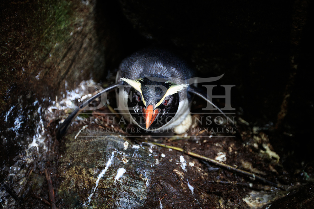 A Tawaki, also known as the Fiordland crested penguin (Eudyptes pachyrhynchus) sits on a egg at the Harrison Cove colony, Milford Sound, New Zealand.<br /> 05 October 2016.<br /> Photograph Richard Robinson © 2016