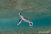 Australian flatback sea turtle hatchling rises toward the surface for a breath of air while swimming out to sea from nesting beach, Natator depressus , Torres Strait, Queensland, Australia