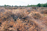 Nederland, The Netherlands, Well, 1-8-2018Door de aanhoudende droggte en hitte is de hei grotendeels verdwenen, verpulverd, en verdroogd, uitgedroogd .Mens en natuur hebben het moeilijk tijdens deze langdurige droogteperiode .Foto: Flip Franssen