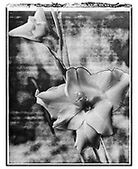 Solaroid - Lily 1 - This is a solarised polaroid photo art print by Paul Williams who invented the technique and is the only photographer to have used it. The process is sadly no longer possible. Taken in 1991
