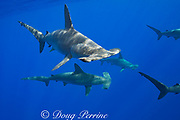 schooling female scalloped hammerhead sharks, Sphyrna lewini, off Red Hill, South Kona, Big Island, Hawaii, USA ( Central Pacific Ocean )