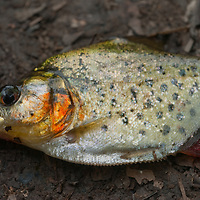 A freshly-caught Pirana fish lies on the forest floor of Peru's Amazon Jungle.