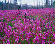 Fireweed, Epilobium angustifolium, blooming in the Fox Lake Burn from 1998, Yukon Territory, Canada.