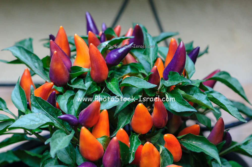 Pepper bush with purple and orange chili peppers