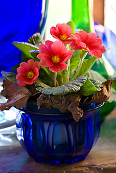 Polyanthus in a blue glass dish on a windowsill