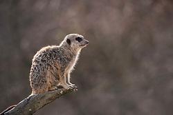 THEMENBILD - Das Erdmännchen (Suricata suricatta), auch Suricata oder veraltet Scharrtier genannt, ist eine Säugetierart aus der Familie der Mangusten (Herpestidae). Erdmännchen leben in trockenen Regionen im südlichen Afrika. Sie leben in Gruppen von vier bis neun Tieren mit ausgeprägtem Sozialverhalten und ernähren sich vorwiegend von Insekten. Sie zählen nicht zu den bedrohten Arten. // The meerkat (Suricata suricatta) live in dry regions in southern Africa. They live in groups of four to nine animals with a strong social behavior and feed primarily on insects. They are not an endangered species, pictured in Stuttgart, Germany on 2015/03/08. EXPA Pictures © 2015, PhotoCredit: EXPA/ Eibner-Pressefoto/ Weber<br /> <br /> *****ATTENTION - OUT of GER*****