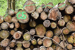 Pile of logs in Forestry Commission managed forest, Wye Valley on the England / Wales border near Symonds Yat, UK May 2021