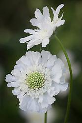 Scabiosa caucasia 'White Perfection'
