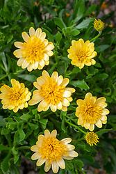 Osteospermum '3D Yellow' - African daisy