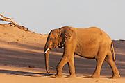 A desert elephant (Loxodonta africana cyclotis) walking through the sandy Hoanib river bed, Skeleton Coast, Namibia