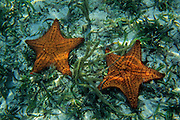 Cushion Sea Stars sit on the sandy bottom of a reef near shore. Southwater Key, Belize.