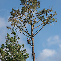 An arborist cuts branches off of a tall pine tree in Montara, California.