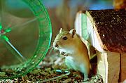 Mongolian gerbil, Meriones unguliculatus,  kept as a pet